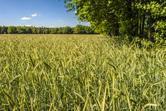 Wheat. Rural spot - bright day - clear sky Stock Image
