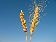Wheat and rye Royalty Free Stock Photo