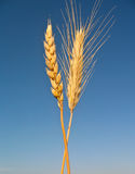 Wheat and rye Royalty Free Stock Images
