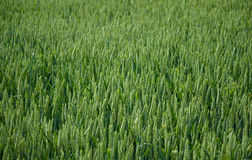 Wheat rye. Green field of wheat rye royalty free stock images