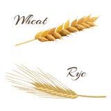 Wheat and rye ears. Vector illustration EPS 10 Stock Photos