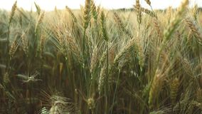 Wheat rye field, ears of wheat close up. Harvest and harvesting concept. Field of golden wheat swaying. Ripe barley on the field on late summer afternoon stock footage