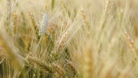 Wheat Rye Field, Ears of wheat close up. Harvest and harvesting concept. Field of golden wheat swaying. Ripe barley on the field on late summer afternoon stock video footage