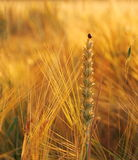 Wheat, rye, oats with ladybug Stock Photography