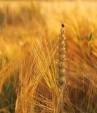 Wheat, rye, oats with ladybug Stock Photography