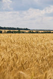 Wheat rye sky cloud Stock Images