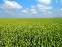 Wheat's field. Summer landscape. Wheat's green field Royalty Free Stock Photos