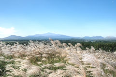 Wheat, Sangumburi Crater, Jeju Island Royalty Free Stock Images