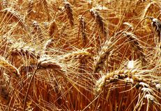 Wheat. The section of a wheat field shows spikes Stock Photos