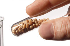 Wheat seed royalty free stock photo