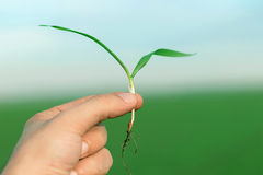 Wheat seedling on the hand. Spring wheat seedling. Growth concep Royalty Free Stock Photography