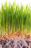 Wheat seedlings Stock Photo