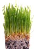 Wheat seedlings Stock Photos