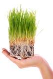 Wheat seedlings Royalty Free Stock Image