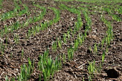 Wheat seedlings Royalty Free Stock Photos