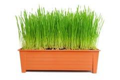 Wheat seedlings Stock Photography