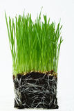 Wheat seedlings Stock Images