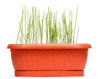 Wheat seedlings in brown pot Royalty Free Stock Photo
