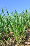 Wheat seedlings Royalty Free Stock Images