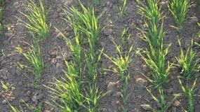 Wheat seedlings Stock Photo