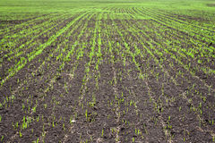 Wheat seedlings grown in the rural fields in early Stock Image