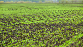 Wheat seedlings grown in the rural fields in early Royalty Free Stock Images