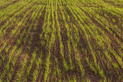Wheat seedlings in a plowed field. Neat rows of green shoots Stock Photography