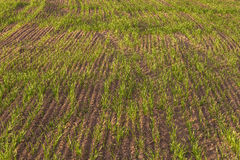 Wheat seedlings in a plowed field, spring. Wheat seedlings in a plowed field on a bright green background of the earth Stock Photos