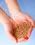 Wheat seeds. Hands full of seeds stock photos