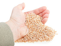 Wheat seeds handful. Handful from wheat seeds on a white background Royalty Free Stock Image
