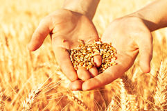 Wheat seeds in hands Royalty Free Stock Image