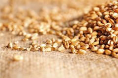 Wheat seeds on rough material. In studio Royalty Free Stock Photo