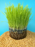 Wheat seeds and sprouts Stock Image