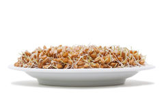 Wheat seeds with sprouts Stock Images