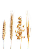 Wheat selection. Four different wheats isolated on white royalty free stock photo