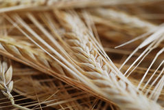 Wheat with selective focus Stock Photo