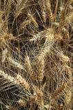 Wheat Shafts  Stock Image