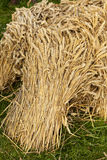 Wheat Sheaf. Autumn Harvest - Bundles of wheat, harvested and stacked Stock Photography