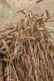 Wheat sheaf drying Royalty Free Stock Photos