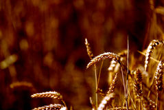 Wheat Sheafs. With a golden light Stock Photo