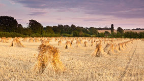Wheat sheaves Royalty Free Stock Images