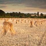 Wheat sheaves Royalty Free Stock Image