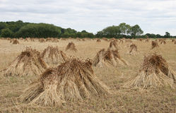 Wheat sheaves drying in a field Stock Photo