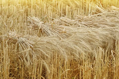 Wheat sheaves at the harvest. In the field Royalty Free Stock Photography
