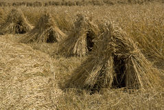 Wheat sheaves in a row Royalty Free Stock Image