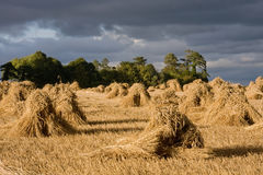 Wheat sheaves in stooks Stock Photos