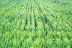 Wheat shoots grow in the field royalty free stock photo