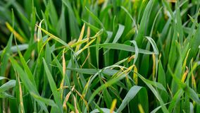 Wheat shoots with septoria. Crop loss due to plant diseases. Close Up royalty free stock image