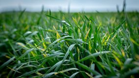 Wheat shoots with septoria. Crop loss due to plant diseases. Close Up stock images