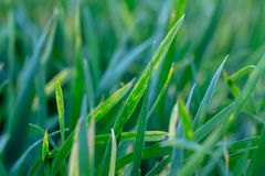 Wheat shoots with septoria. Crop loss due to plant diseases. Close Up stock photography